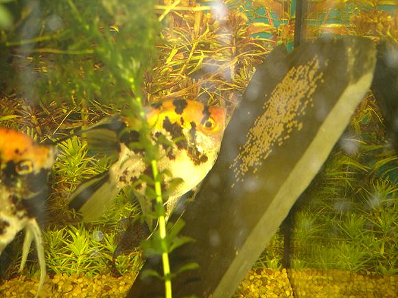 Skalar-Weibchen beim laichen